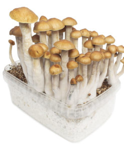 Buy golden teacher mushroom online