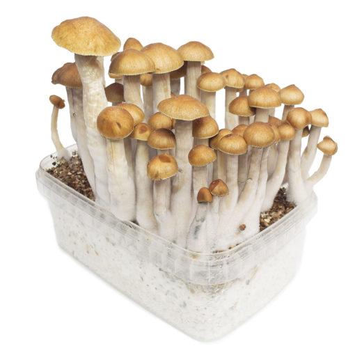 Buy golden teacher mushroom online