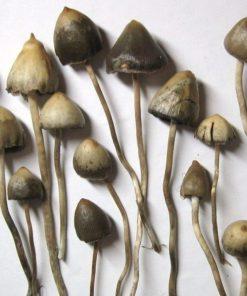 Buy liberty cap mushroom online