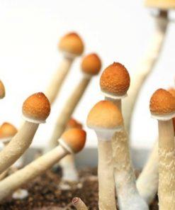 Buy magic mushrooms online
