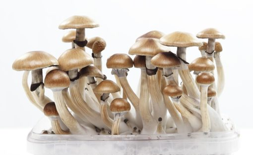 Buy magic mushrooms online