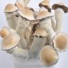 Buy penis envy mushroom online