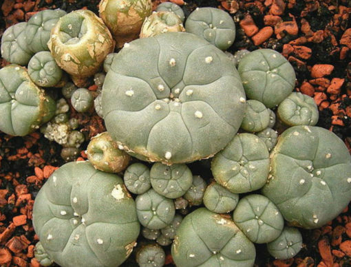 Buy mescaline cactus online