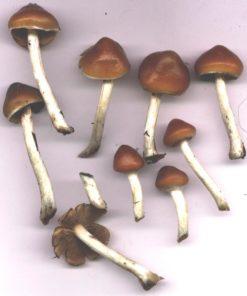 Buy psilocybe azurescens mushroom