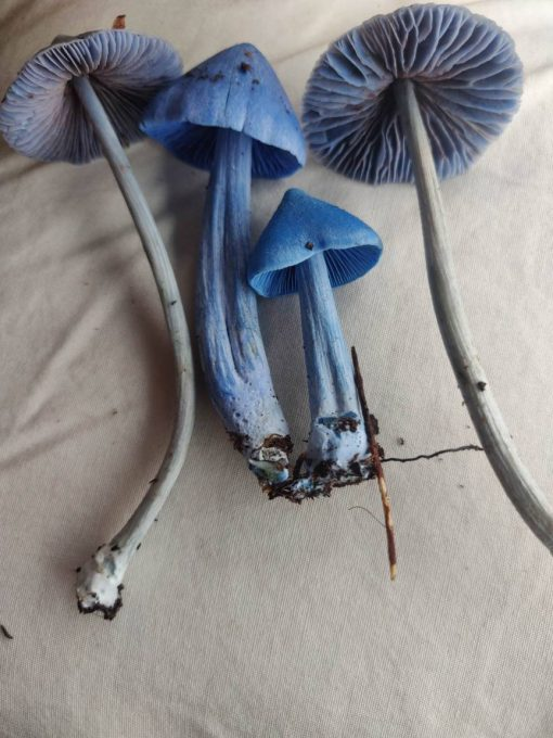 Buy blue meanie mushroom