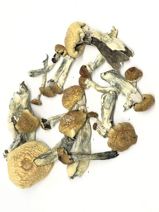 Buy dried psilocybe cubensis